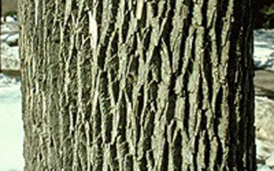 ash tree bark
