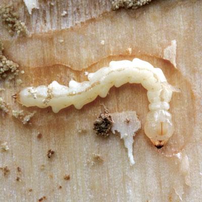 eab larvae