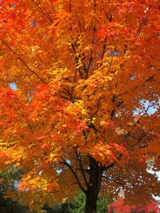 A Sugar Maple tree in the fall.