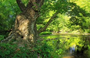 Beautiful American Sycamore Tree.