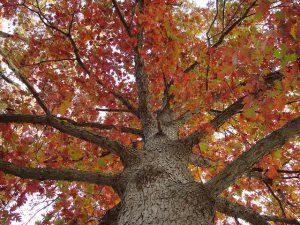 A white oak tree in fall.
