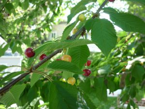 Cherries on a black cherry tree.