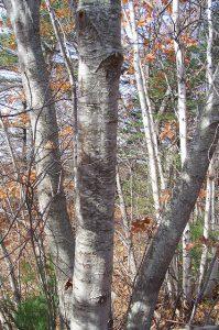 Try characterizing Bronze Birch Borer holes.