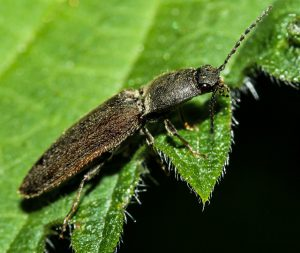 Click beetle on a plant.