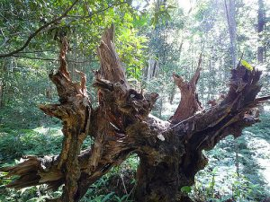Dead stump of a tree