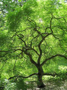 tall tree