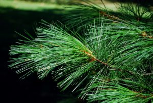 Evergreen needles