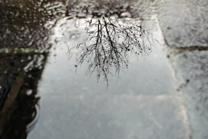 tree reflection in rain puddle